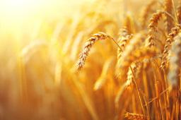 麦收进度达85%