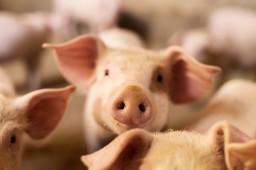 过度下跌三级预警!猪价官方信号首次出现,这个板块如何应对?